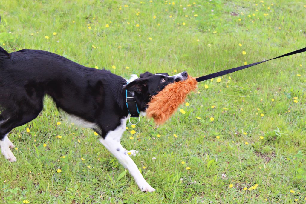 Best-toys-for-border-collies